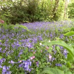 A Sussex Bluebell wood