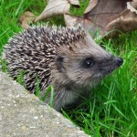 Baby hedgehog in a Sussex garden. Photo: Chloe FitzGibbon (aged 15)