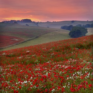 Beautiful Poppy fields